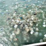 Сезон медуз в тунисе по месяцам: в июне, июле, августе, сентября и октябре